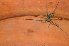 Odiellus spinosus (markhortonphotography) Tags: macro terracotta arachnid surrey pot flowerpot plantpot harvestman deepcut surreyheath opilione odiellusspinosus markhortonphotography thatmacroguy
