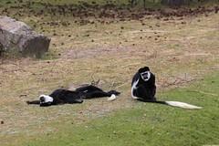 Safari Park (dariusz_ceglarski) Tags: holland netherlands animal animals canon zoo monkey blijdorp nederland safari netherland holanda nl bergen hollands aap safaripark beeksebergen niederlande holand netherlads dariusz holandsko beekse hilvarenbeek holandia hollanda malpa herkingen nederlando ceglarski holadnia