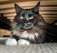Under the bed - Our New House Guest ( Percy the cat) Olympus OMD EM5II & mZuiko 17mm f1.8 Prime) (1 of 1) (markdbaynham) Tags: percy cat feline pet big fluffy oly olympus omd em5 em5ii csc mirrorless evil mz zd zuiko zuikolic mzuiko 17mm f18 prime mft microfourthirds m43 m43rd micro43 micro43rd