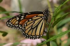 Monarch Butterfly (Danaus plexippus) ovipositing on a garden milkweed (Treebeard) Tags: monarch butterfly danausplexippus ovipositing garden milkweed butterflyweed asclepiastuberosa asclepiascurassavica asclepiadaceae sanmarcospass santabarbaracounty california