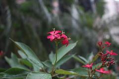 Carl Zeiss Jena 28mm f2.8 Mc (c22717a) Tags: flowersarered flowers carlzeissjena28mmf28 nikond40