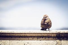 203 365+1 2016 Polly Wants a Goddamn Cracker (Kris McNeil) Tags: bird napa grumpy domaine carneros