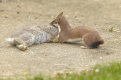 Stoat with Rabbit (Kentish Plumber) Tags: stoat mustelaerminea rabbit predator uk mammal nature prey wildlife boughbeech kwt kentwildlifetrust naturereserve dslr fullframe nikkor nikon d610 animal hunting killing