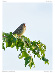 Bruant proyer (BerColly) Tags: france auvergne puydeome oiseau bird arbre tree bercolly google flickr