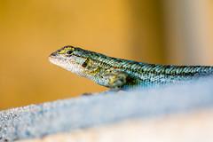 neighbor (Drachenfanger) Tags: animals nature macro color eyes drachenfanger photosophie kunstwelt gecko geico geiko national ojai california unitedstates statefarm