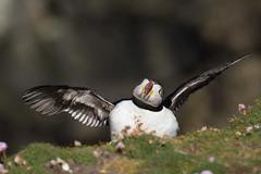_MG_1476.jpg (helmutfaugel) Tags: schottland fairisle grosbritannien europa vogel 2016 shetland papageientaucher orte