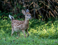 White Tail Fawn (jerryherman1) Tags: whitetail maryland fawn deer wildlife