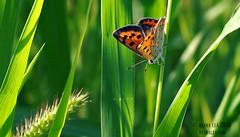 American Copper 8.24.16 (Des Lea) Tags: americancopper lycaenaphlaeas butterfly insects bugs nature macro summer grass desralea pennsylvania country sunshine warmth pretty