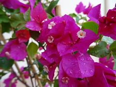 Pink flowers (Hlne_D) Tags: hlned france provencealpesctedazur paca provence alpesdehauteprovence ahp manosque plant plante flower fleur myflowers mesfleurs bougainvillier bougainvillea gouttedeau waterdroplet