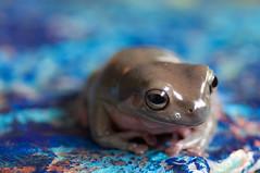 375_0025.jpg (artmonstergirl) Tags: tealandorange frog whitestreefrog tropical painting blue green