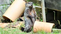 DSC_0198 (rachidH) Tags: rodents marmot groundhog woodchuck marmotamonax marmotte sparta nj rachidh nature