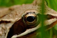 DSC_0564_DxO (hiperkrolik) Tags: animal macro nature outdoor frog