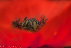 """Life is the art of drawing without an eraser."" ~John W. Gardner (Kitsanne) Tags: lensbaby composerpro plasticoptic kenkoextension d80 flowersofthegreatbearrainforestgarden flowers red poppy"