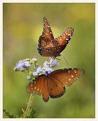 Queen Butterflies (gauchocat) Tags: tohonochulpark tucsonarizona
