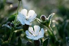 Good morning! (marko.erman) Tags: flowers morning dew drops macro jardinsdesplantes sony