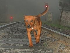 Co caminhando pelos trilhos (Mrcio100) Tags: cachorro co animal roa nova piraquara paran brasil marcio100 mrcio100 nikon