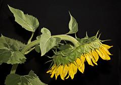 sunflower (eDDie_TK) Tags: colorado co sunflowers flowers flower