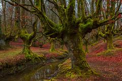 Hayedo de Otzarreta (Enric.©) Tags: hayedodeotzarreta euskadi hayas bosque arbol bizcaia