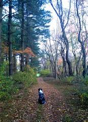 Chewy on the trail (John Magee) Tags: chewy chewbacca oldtrails walkthedog dogwalk aussie australianshepard virginia loudouncounty camphighroad middleburg beautiful pecnews landscapespec2016