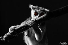 Golden eyes (iamdavidzhao1996) Tags: lemur animal monkey nikon d3300 black white blackandwhite blackwhite bnw yellow eyes nature photography photo hungary