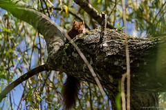 Ecureuil_6530 (lucbarre) Tags: cureuil arbres arbre fort bois nature