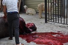 DSC_0014 () Tags: musulmani moschea xian cina festival sacrificio mucca pecora beef sacrifice china mosque