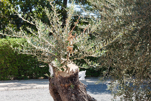 Olive tree graft
