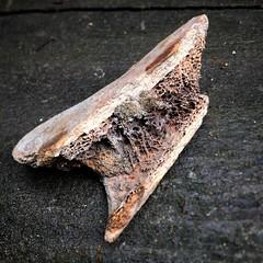 How do you recognize human bones? // Woran erkennt man menschliche Knochen? #fundstck #garten (_assbach) Tags: ifttt instagram bones knochen creepy found death rotten decay