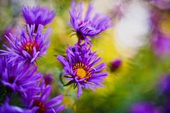 Vitality (hploeckl) Tags: pentacon flowers botanicalgarden st gallen switzerland vintage nikon d750 purple life engergy