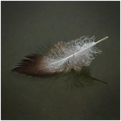Floating (tina777) Tags: floating feather bird water lake texture photoshop elements cosmeston vale glamorgan wales