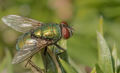(digiphotonut) Tags: edgewood fly insect kentucky macro