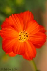 Orange Cosmos #3 (Galib Emon) Tags: orange cosmos plant outdoor flower bright macro depthoffield cosmossulphureus beautiful colour natural portrait flickr canon eos 7d efs18135mm f3556 is bokeh chittagong bangladesh spring daylight copyright galib emon