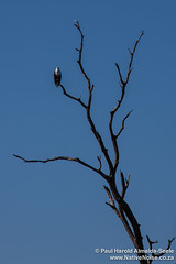 Fish Eagle In Chobe National Park, Botswana