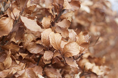 Brown leaves (cchana) Tags: brown tree nature leaves leaf spring bush natural bokeh depthoffield growth growing dying bushes dormant