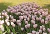 _MG_4496 (Gökmen Kımırtı) Tags: flower tulip 2015 emirgan laleler