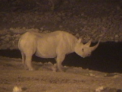 Rhino at Night