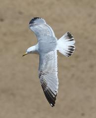 Herring Gull 3 20150427 (Steve TB) Tags: canon gull bif herringgull birdinflight broadstairs eos7d2 eos7dmarkii