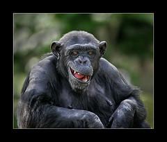 Cheeky chappy (tkimages2011) Tags: smile tooth zoo mono chimp monochromatic chimpanzee macon