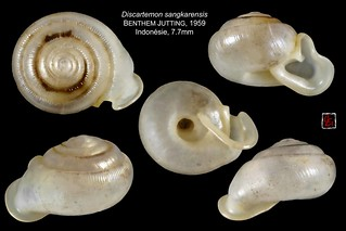 discartemon sangkarensis indonesie 7mm7