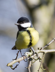 Great Tit (marra121) Tags: wood lake reed water robin birds grey rocks long branches dunnock cumbria wren rook whitehaven tailed bunting wagtail longlands