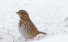 Song Sparrow (paramaniac10) Tags: snow bird nature song birding sparrow