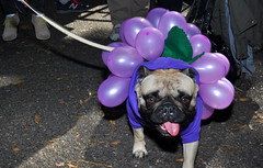 dog with grapes (greenelent) Tags: nyc dog streets animals balloons costume purple streetphotography pug grapes photoaday 365