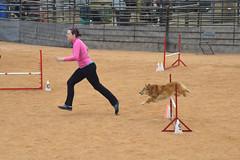 agility245 (jaimekay16) Tags: dog training austin agility k9 xpress nadac k9x