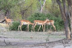 Impala (Aepyceros melampus) (Zsuzsa Por) Tags: africa animal wildlife safari botswana impala animalplanet savuti aepycerosmelampus canonistas canoneos7d canonef70200mmf28lisusmii