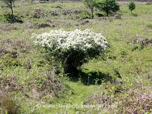 Stunted & Sheep Grazed Hawthorn