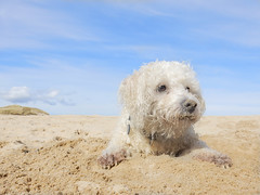 Jamie - 33 of 215 (linlaw39) Tags: sea dog beach nature sunshine puppy fun scotland sand nikon jamie bichonfrise blueskies fraserburgh project215 coolpixs9700 image33215