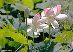Fiori di Loto (Darea62) Tags: white flower nature lotus sony loto versilia a230 massarosa bozzano