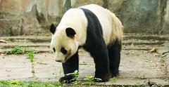 Pandi pandaaaa