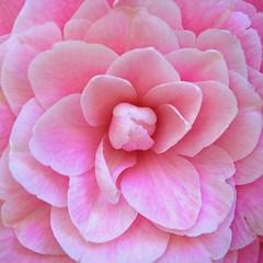 Petals of pink (Deb Jones1) Tags: pink flowers flower macro nature beauty canon garden square botanical outdoors flora squareformat camelia blooms flickrawards debjones1