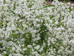 Exochorda x macrantha 'The Bride' (wallygrom) Tags: england surrey ripley wisley wisleygardens rhs royalhorticulturalsociety may2015 rosaceae exochorda exochordaxmacranthathebride flowers whiteflowers pearlbush exochordathebride